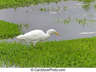 Cattle Egret eating in shallow marsh water - one Cattle ...