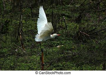Cattle Egret Flying