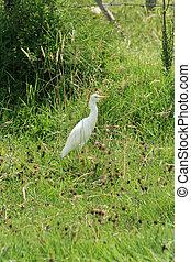 Cattle Egret in a Field