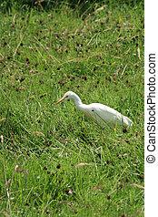 Cattle Egret in Grass