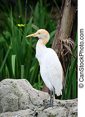 Cattle Egret in nature - Cattle Egret (Bubulcus ibis) bird...