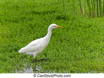 Cattle Egret in shallow marsh water - one Cattle Egret ...