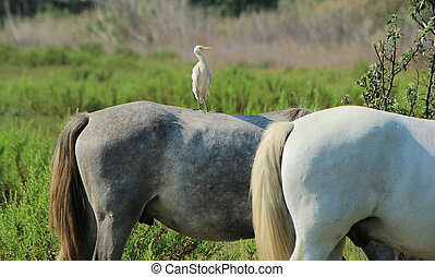 One cattle egret standing on the back of a grey horse, next to a white one, in Camargue, France