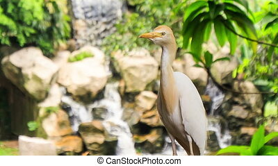 Cattle Egret Sits against Waterfall Flies away - Cattle...