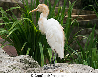 Cattle egret standing in front of a green plant