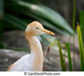 Cattle Egret (Bubulcus ibis) bird is a cosmopolitan species...