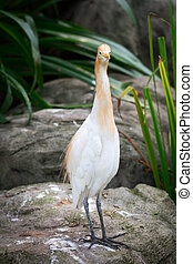 Cattle Egret - Front full portrait of bird Cattle Egret...
