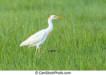A pretty cattle egret walks along in the grass near Deleon Springs, Florida.