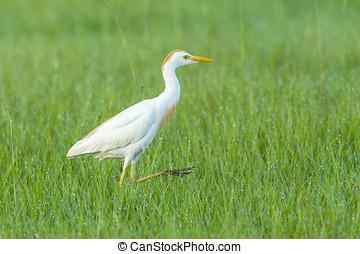 Cattle egret walks in field. - A pretty cattle egret walks...