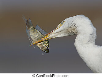 cattle egret with fish