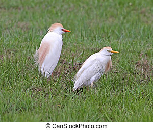 Cattle Egrets in Baltimore, MD