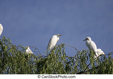Egrets - Cattle Egrets in tree