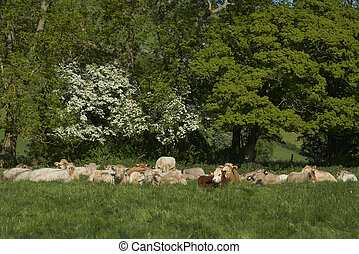 Cattle farming in the Cotswolds - Cattle in lush green ...