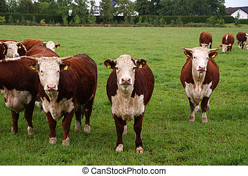 Cattle Grazing - Cattle grazing and being curious. ...
