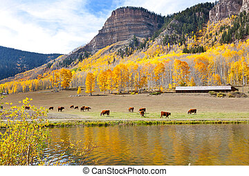 Cattle Grazing High In The Mountains. Fall Aspen shine their...
