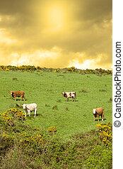 cattle grazing in a field on a hill