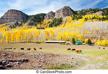 Cattle Grazing In Colorado with outbuildings in the...