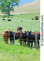Cattle grazing in green pastures - Black and brown cattle...