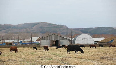 pasture - cattle grazing on pasture