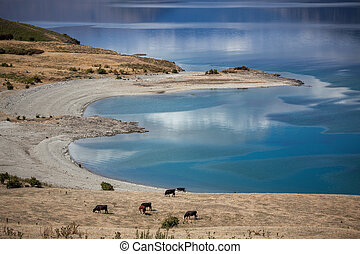 Cattle grazing on the banks of Lake Hawea
