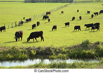 Cattle Grazing - Cattle grazing on green grass near Ridgway,...