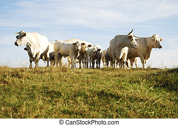 Cattle Herd - A herd of white cows