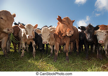 Herd of cattle looking closely at the camera.
