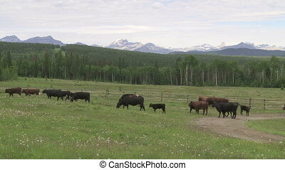 Cattle Herd - A herd of cattle in a green summer pasture in...