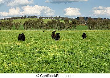 Cattle in a Field - Cattle standing in a lush field in...