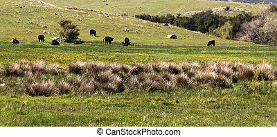 Cattle in a green grass pasture