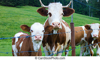 Cattle in a mountain pasture