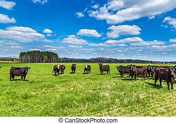 Cattle in a Pasture - Angus cattle in a pasture in ...