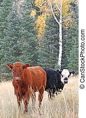 Cattle in Autumn