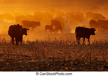 Cattle in dust at sunset