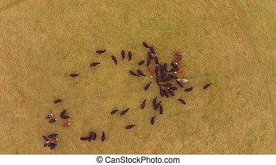 Cattle in field drone view in uk , hampsire