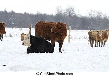 Cattle in Holding Pen
