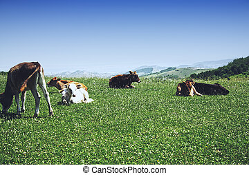 Cattle in mountains