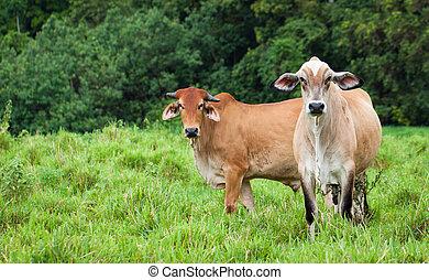 Cattle in Queensland Australia