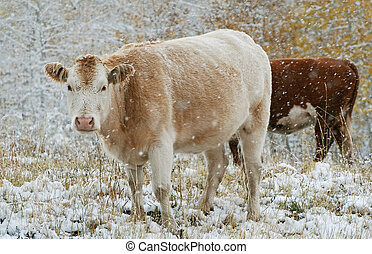 Cattle in Snow - Cattle grazing in a snow storm in the...