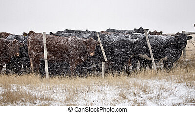 Cattle in Snow Storm in Alberta Canada