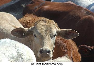cattle in yard - Portrait of beef cattle waiting in saleyard