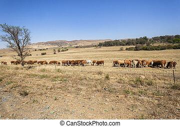 Cattle Landscape