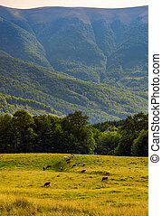 cattle of cow grazing at the foot of Apetska mountain. wide...