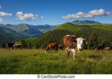 Cattle on a mountain pasture. Summer sunny day. Cow in pasture