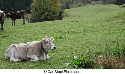 Cattle on green field - Cows pasturing and relaxing on green...