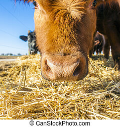 cattle on straw with blue sky - friendly cattle on straw...