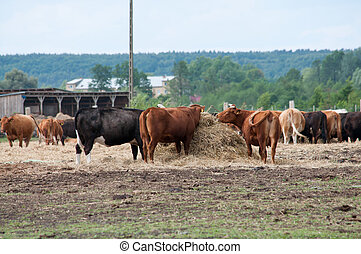 cattle on the pasture