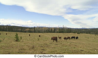 Cattle on the range in the foothills of Alberta, Canada