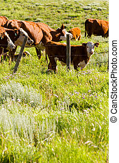 Cattle - Orange cattle grazing in the pasture.
