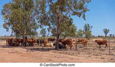 Cattle Resting In Shade - Cattle resting in the shade in...